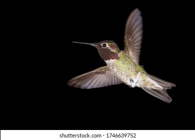 An Anna's hummingbird hovers in front of a black background with wings spread and up
