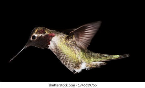An Anna's hummingbird hovers in front of a black background with it's wings back