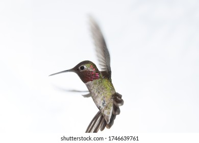 An Anna's hummingbird hovers in front of a white background with wings up and tail spread.