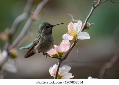 Anna's Hummingbird in Land Park Sacramento.