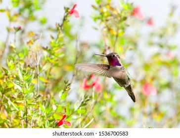 Anna's hummingbird perched on small branch of butterfly bush flower plant, looking around and vocalizing. It has an iridescent bronze green back, a pale grey chest and belly, and green flanks
