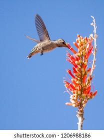 Annas hummingbird sipping nectar from ocotillo.
