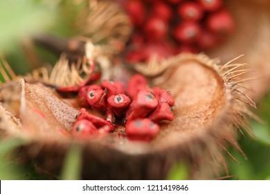 "annatto, a natural orange-red condiment (also called ""achiote"" or ""bijol"""