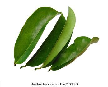 Annona muricata isolated on white background. Daun sirsak or Soursop leaves on white background.