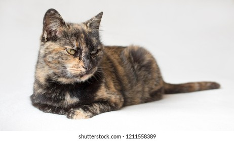 Annoyed looking tortoiseshell cat staring displeased at something outside camera view. Isolated cat in white background.