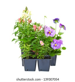 Annual bedding plants straight from the greenhouse nursery.  Snapdragons and pansies isolated on white.