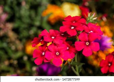 Annual Phlox (Phlox drummondii) in garden