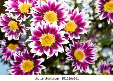Annual pinkish-purple chrysanthemum flower in the garden in autumn. Floral background image for cards and design.