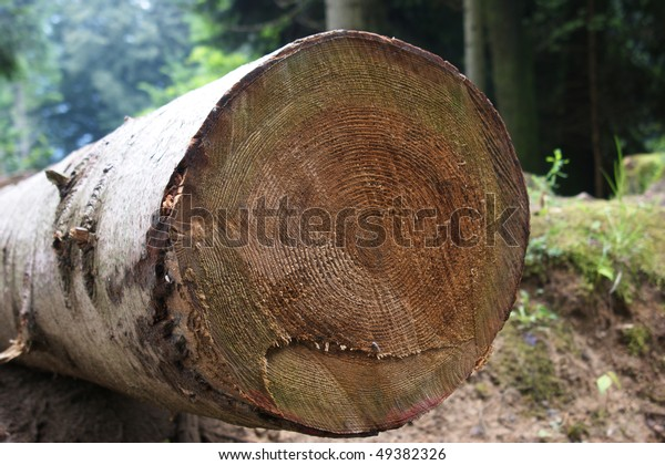 Annual rings from felled tree