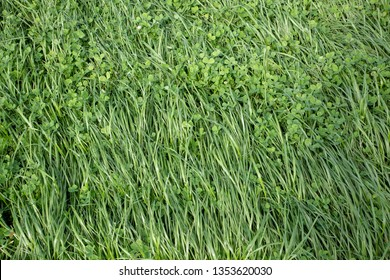 Annual ryegrass and clover grown in a rural field for stock food and hay