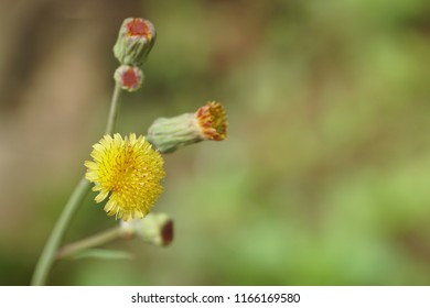 Annual Sowthistle or Sonchus oleraceus, Common sow thistle, Smooth Sow thistle, hare's colwort, milky tassel, milk thistle, soft thistle, swinies