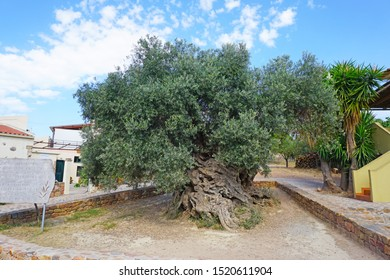 ANO VOUVES/GREECE - SEPTEMBER 16 2019: The oldest three-thousand-year-old olive tree in the village of Ano Vouves on the island of Crete.