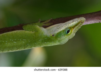 Anole in Hawaii