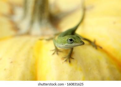 Anole Lizard on Pumpkin