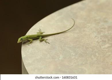 Anole Lizard Overlooking Cliff