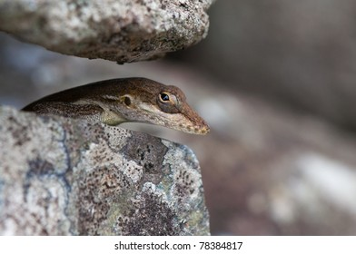 Anolis Gingivinus Looking from Stone Wall