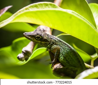 anolis roquet summus lizzard on a leaf