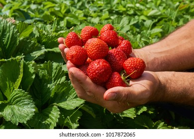 Anonymous farmer holding a handful of freshly picked strawberries