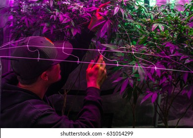 Anonymous man working in a marijuana grow room