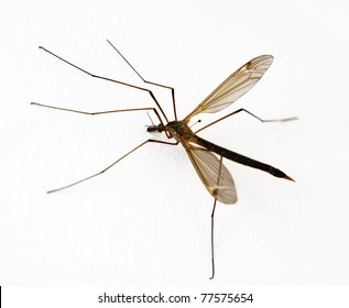 Anopheles Mosquito on white background