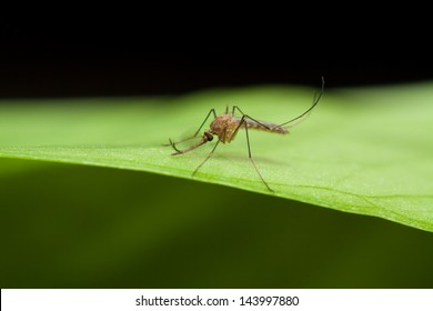 Anopheles mosquito resting on green leaf