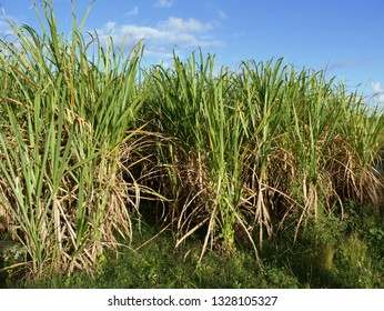 Anse-Bertrand, Guadeloupe/France - 02/01/2019 : Field of sugar cane of Guadeloupe in french west indies