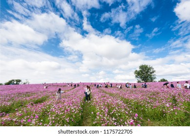 Anseong-si, South Korea - October, 2017: People visit Cosmos flower festival in Anseong farmland.