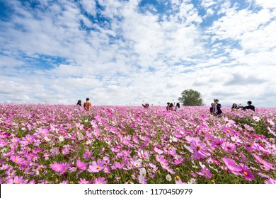 Anseong-si, South Korea - Octorber, 2017: People visit Cosmos flower festival in Anseong farmland.