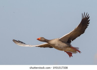 Anser anser Grey leg goose flying in blue sky over the Hunzedal in the past decades it has become the most common wild geese in the Netherlands living along waters in the country side