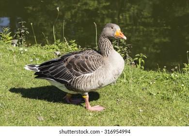 Anser anser, Greylag goose, Grey goose from Lower Saxony, Germany