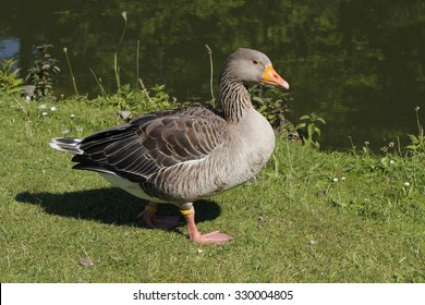 Anser anser, Grey-lag goose, Grey goose from Lower Saxony, Germany, Europe