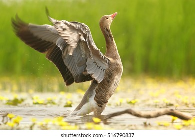 Anser anser, Greylag Goose with outstretched wings, on spring small pond in lovely pose on slanting old trunk above yellow flowering water against green reeds in background.Spring, Hortobagy, Hungary.
