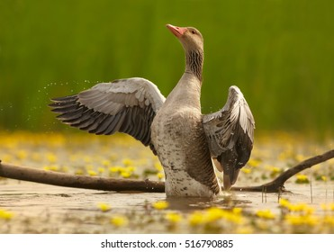 Anser anser, Greylag Goose with outstretched wings, on small pond in lovely pose on slanting old trunk above yellow flowering water against green reeds in background. Spring, Hortobagyi, Hungary.
