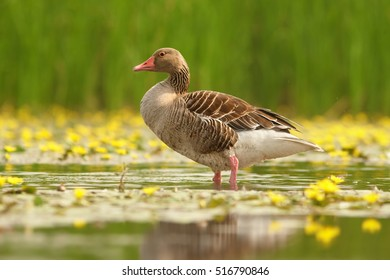 Anser anser, Greylag Goose posing in water, on small pond with yellow flowering water against green reeds in background. Spring, Hortobagyi Nemzeti Park, Hungary.