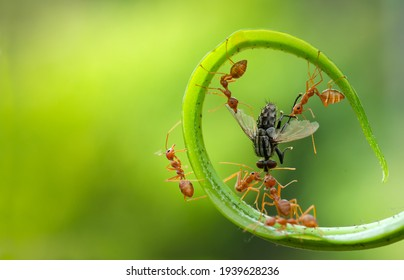 Ant action standing.Red ants are climbing green vines,,Concept team work together Red ant,Weaver Ants (Oecophylla smaragdina),Action of ant carry food