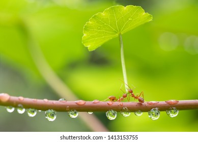 Ant action standing.Ant carry green leaf umbrella  for protection,Concept team work together protection