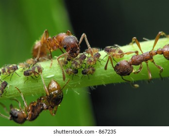 Ant and aphis