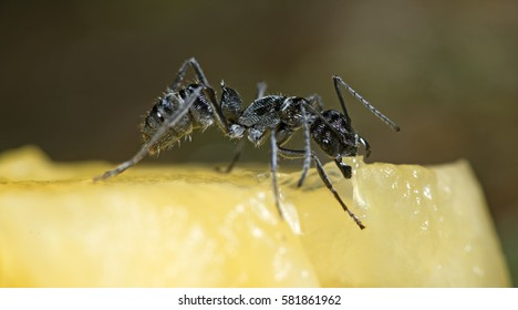 Ant, Black ant feed pineapple