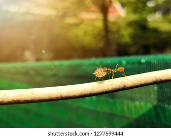 Ant carrying aphid or plant louse on the cable.Ant action carrying.Ant diligent working,Concept team work together.