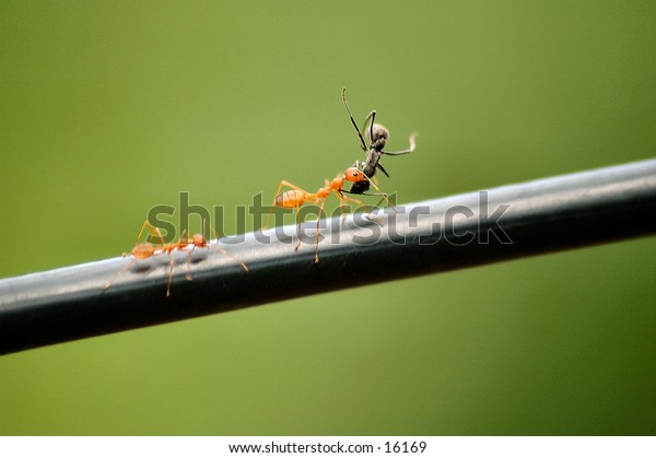 Ant carrying the dead