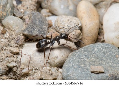 Ant carrying a rock
