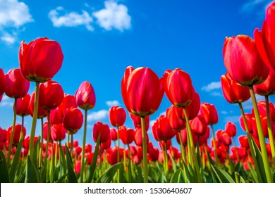 Ant eye view of Red tulip flower in the field with vivid color, Amsterdam, Netherlands.
