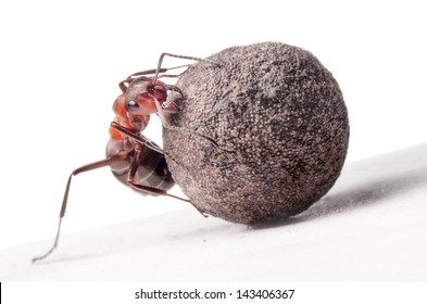 ant fights with heavy stone