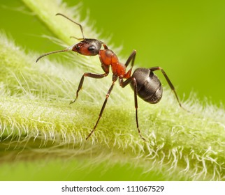 ant formica rufa on green grass