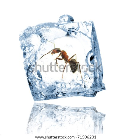 Ant Frozen In Ice Cube Isolated On White Background