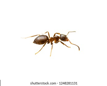 Ant Insect Macro Isolated on White