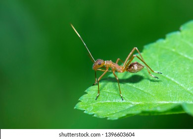 Ant Mimic Bug (Family Alydidae) in Thailand.
