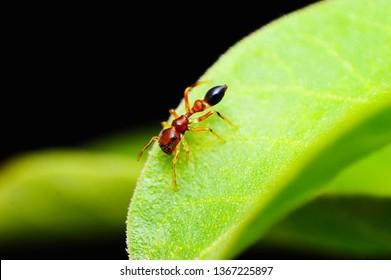 Ant mimic spider, Myrmarachne sp, Satara district, Maharashtra, India.