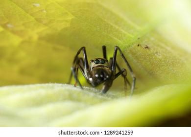 Ant mimic spider on the leaf, macro