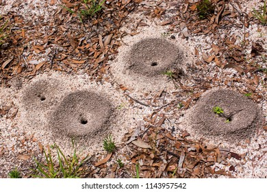 Ant nests in dry sand at Watsonvill on the Atherton Tabeland in Queensland, Australia